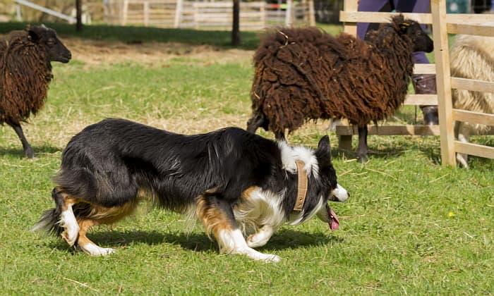 Hütehund-Kurzurlaub für Anfänger - Schafe hüten zum Reinschnuppern - travel4dogs